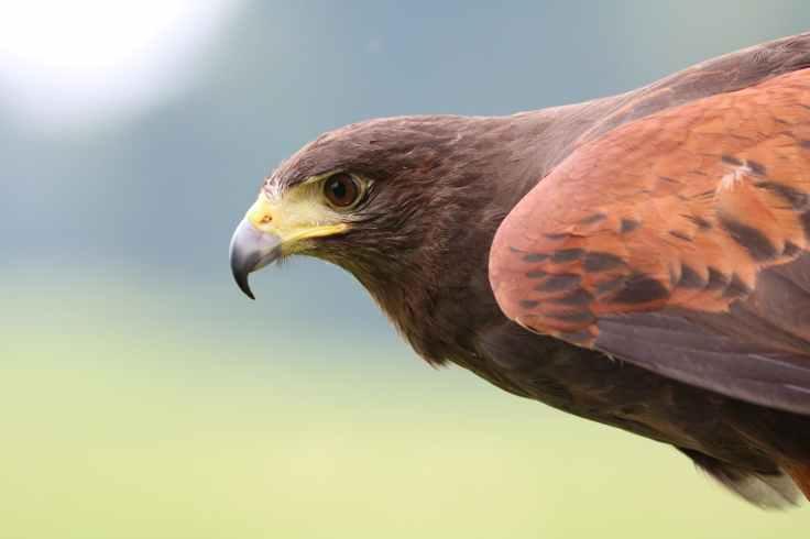 harris-hawk-hawk-harris-bird-162354.jpeg